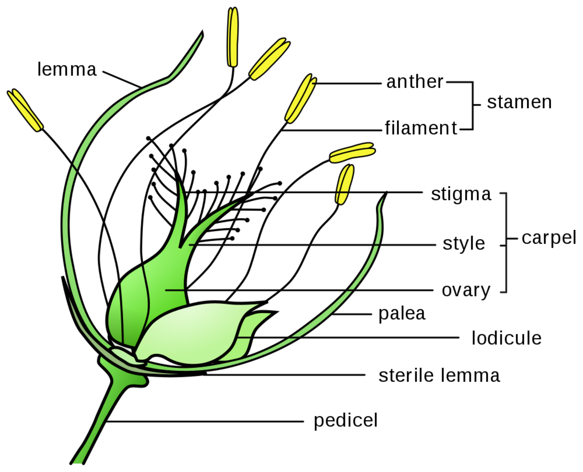 Structures of a grass floret