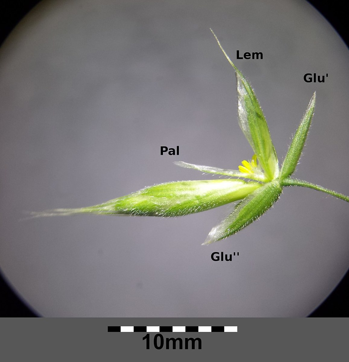 A floret inside a spikelet of Bromus hordeaceus (a member of the grass family) and an unopened spikelet