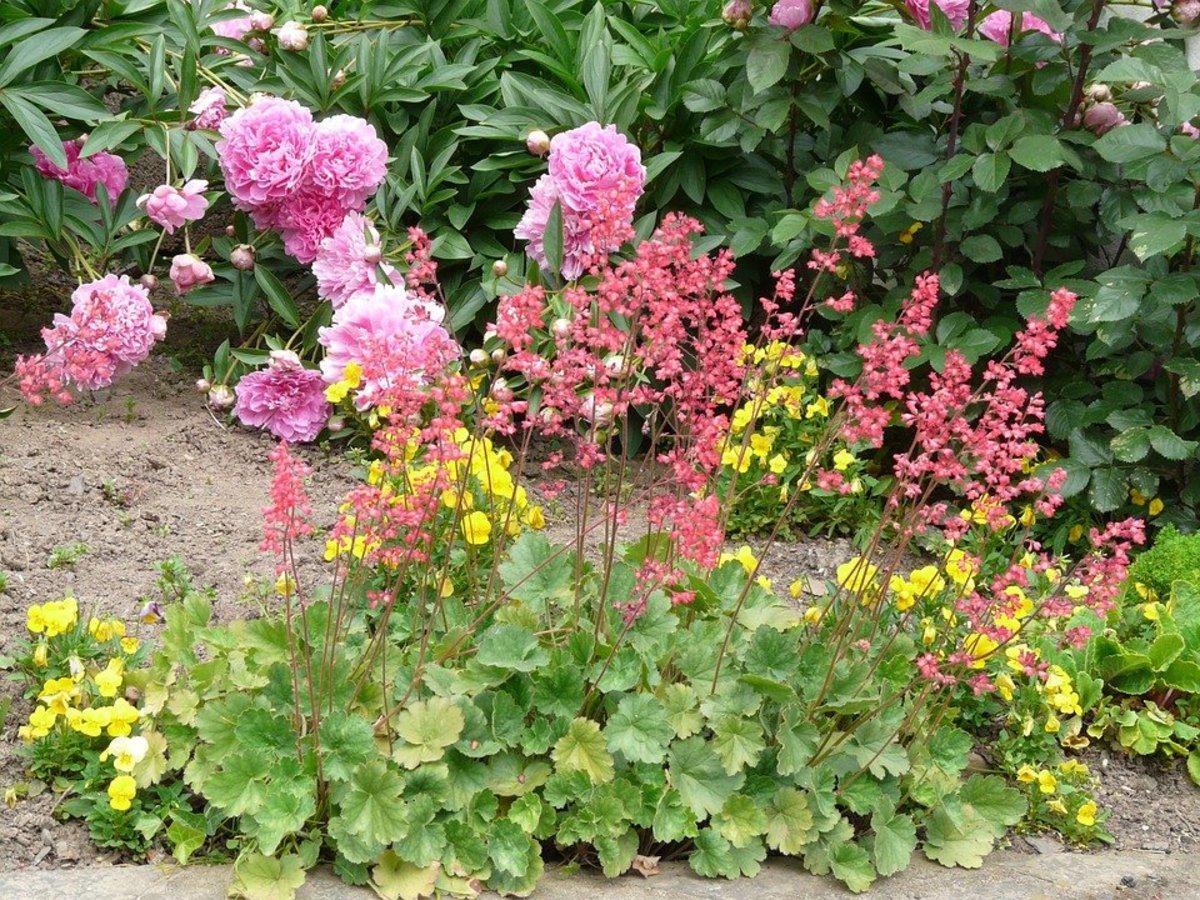 How to Grow Coral Bells (Heuchera), a Native Plant for Shade
