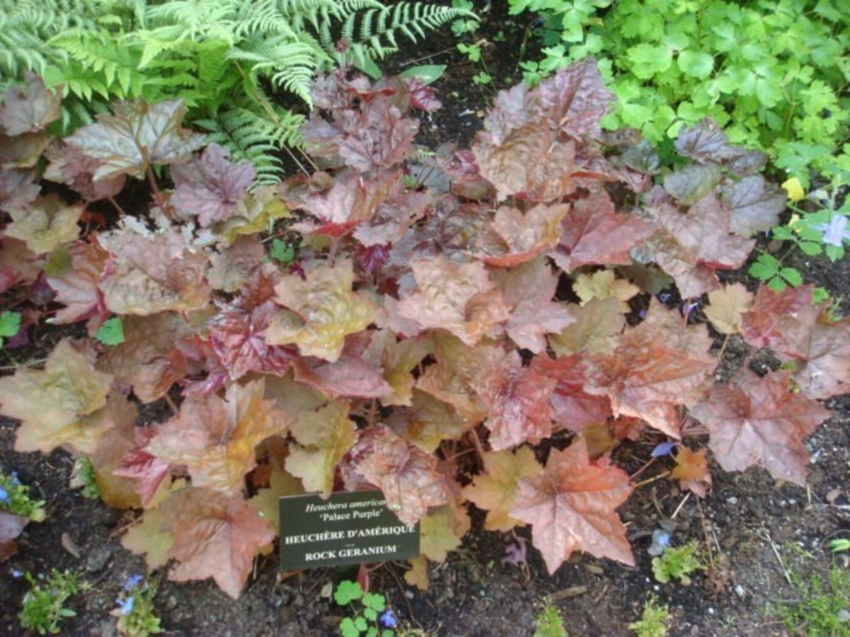 Bronze foliage is an interesting contrast to other plants.