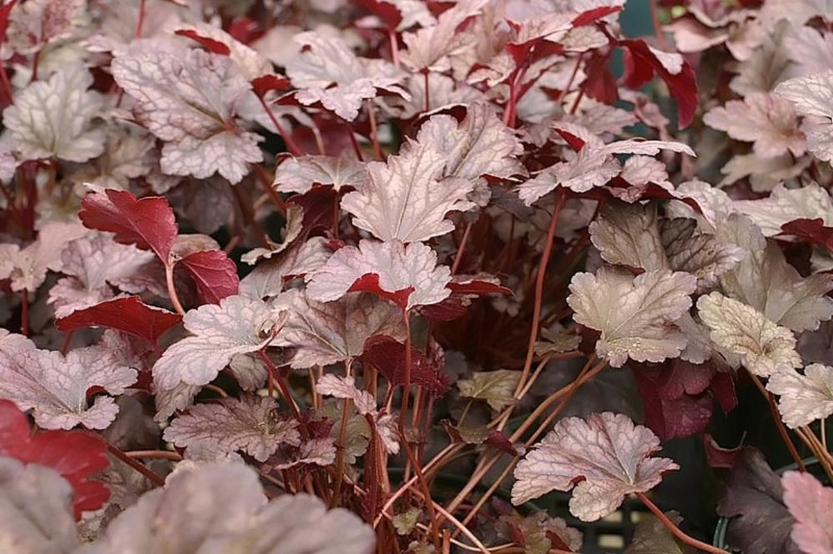 Dark purple leaves can add drama to your garden.