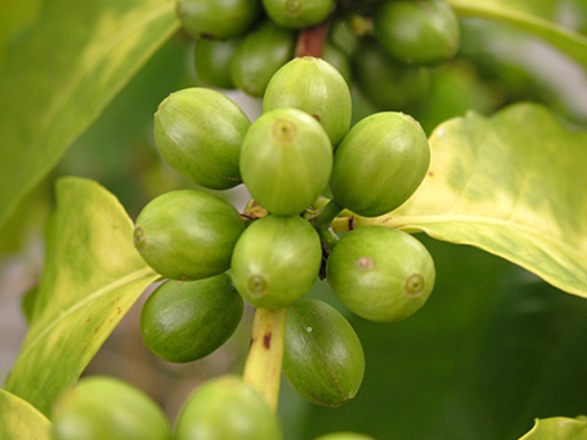Green Coffee Bean Extract ~ Does It Help You Lose Weight?