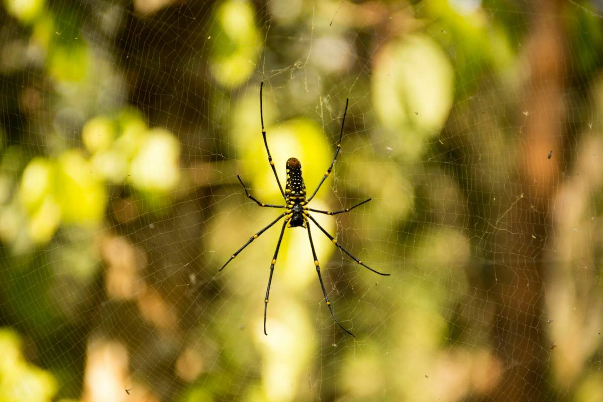 Giant Wood Spider - photographed during the plantation and nature trail