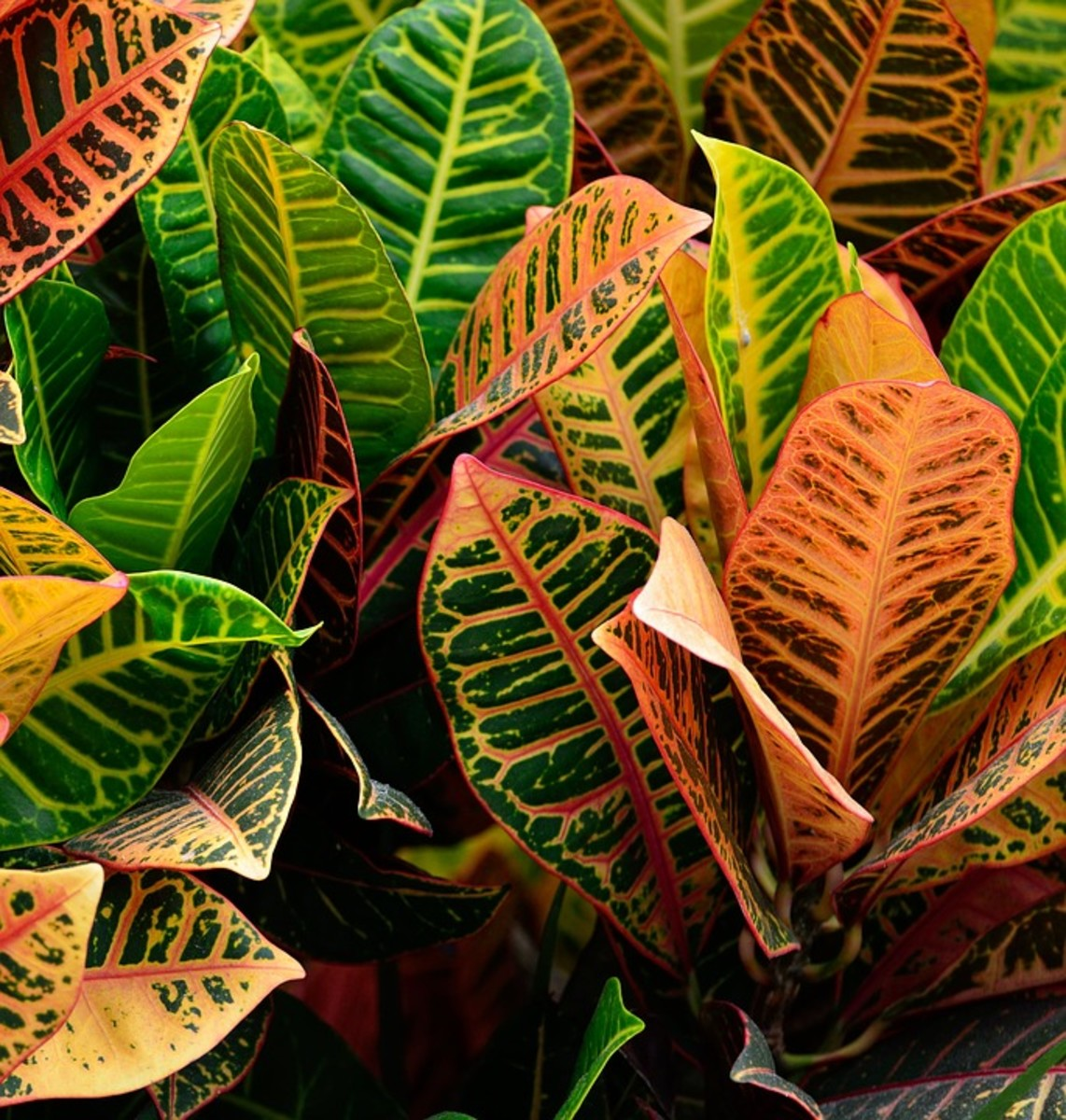 The croton plant can be used to create a powerful laxative.