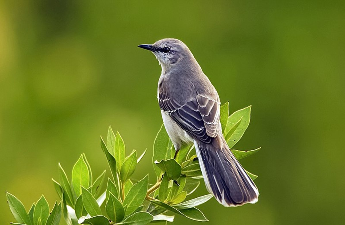 The beautiful mockingbird, but wait, this one isn't black! Has there been a mistake? --Oh I get it now; this is the Northern mockingbird, not the BC Rich Mockingbird!