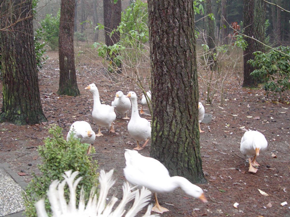 Turkey in wood