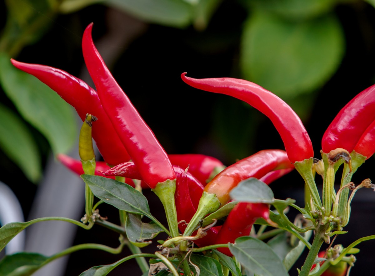 Any species of pepper will do well in pots.