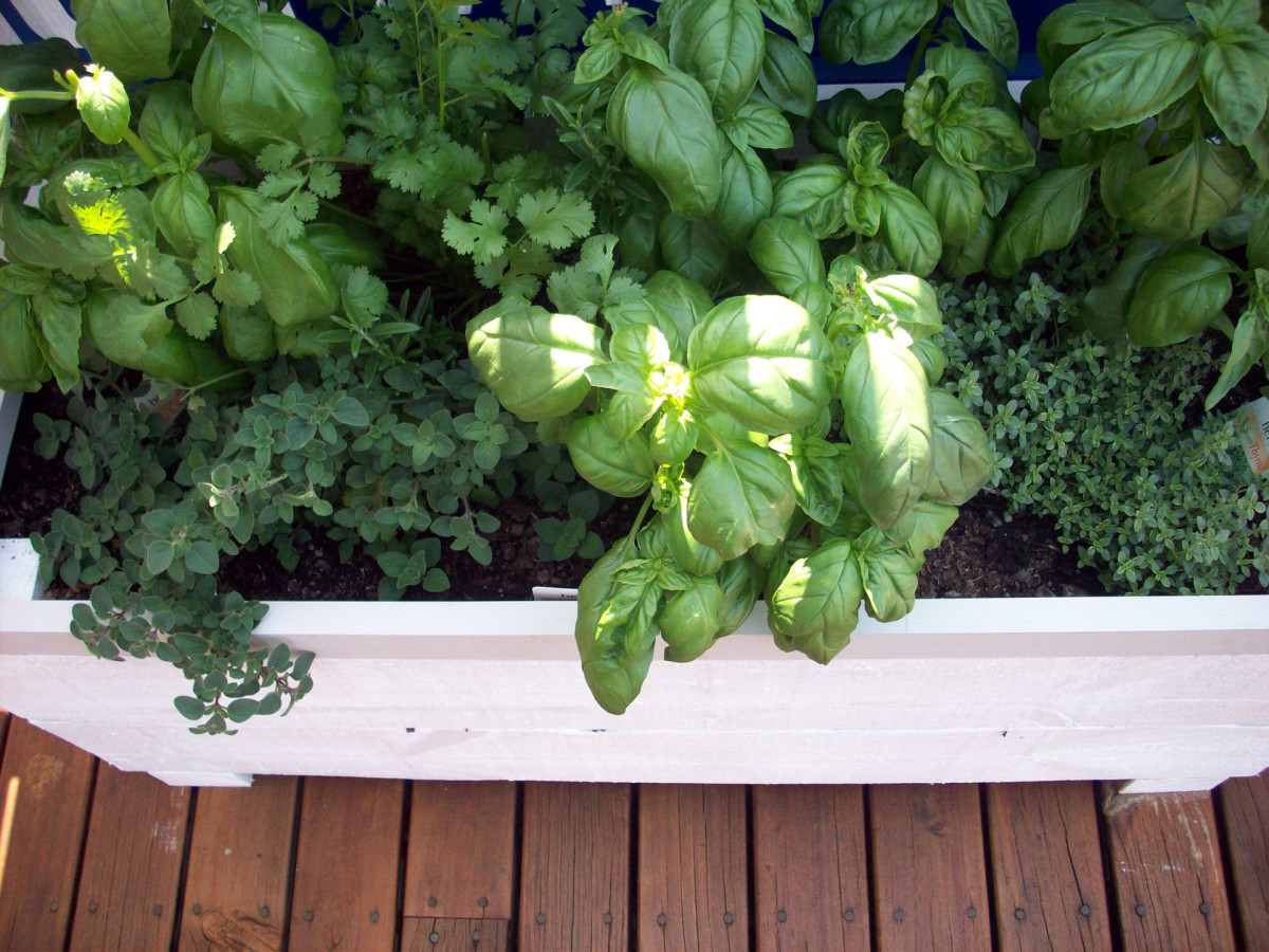Herbs are the most common edible plants in a garden. These little leafy greens are also really easy to grow in a container.