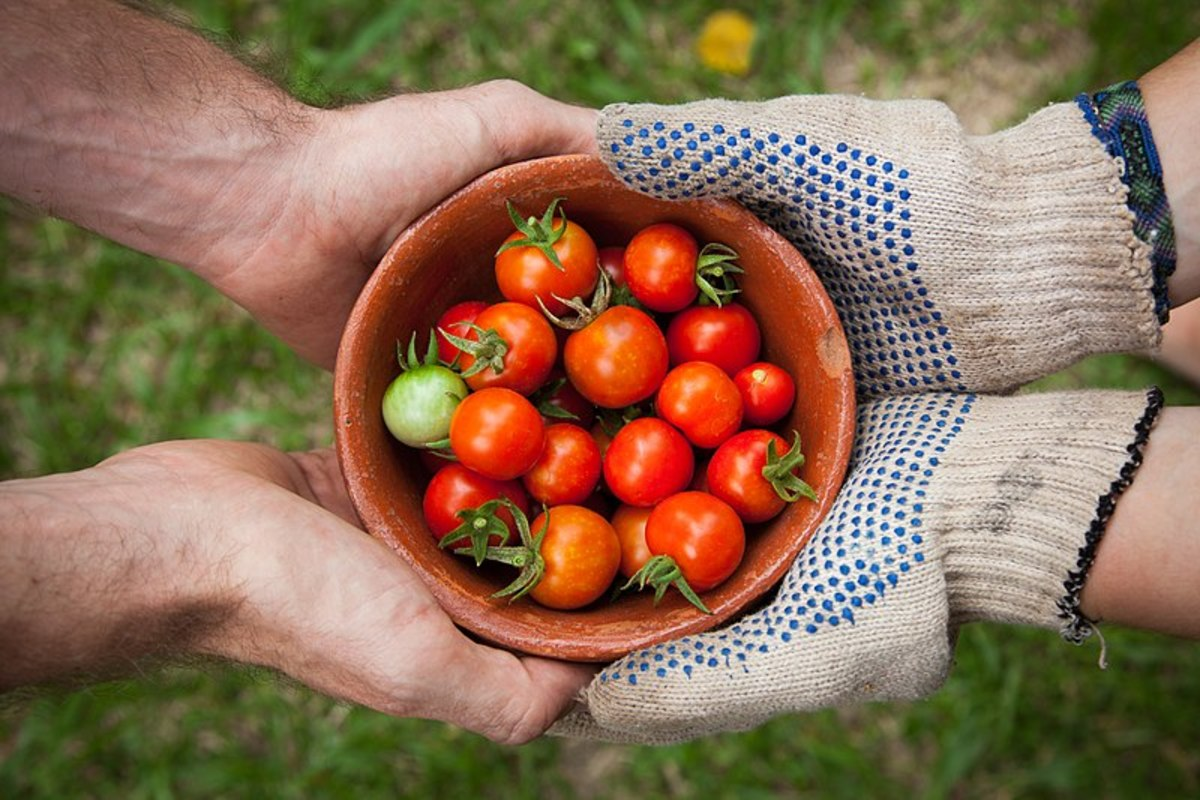 Cherry tomatoes are popular choice in home gardens. Tomatoes do well planted in large pots.
