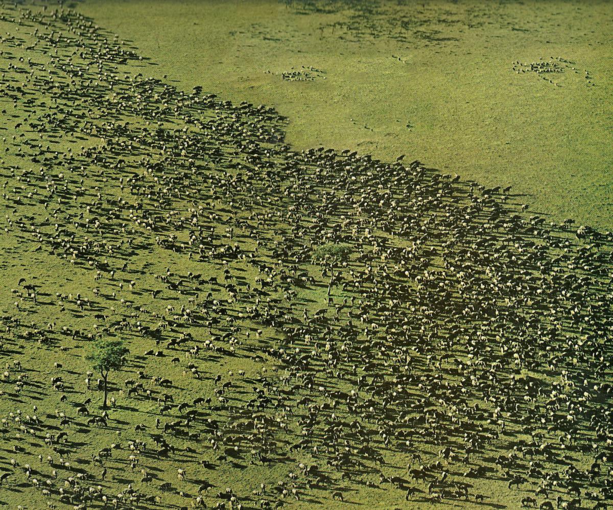 """""""Huge herds keep plains grasses fertile, pulling in carbon."""""""