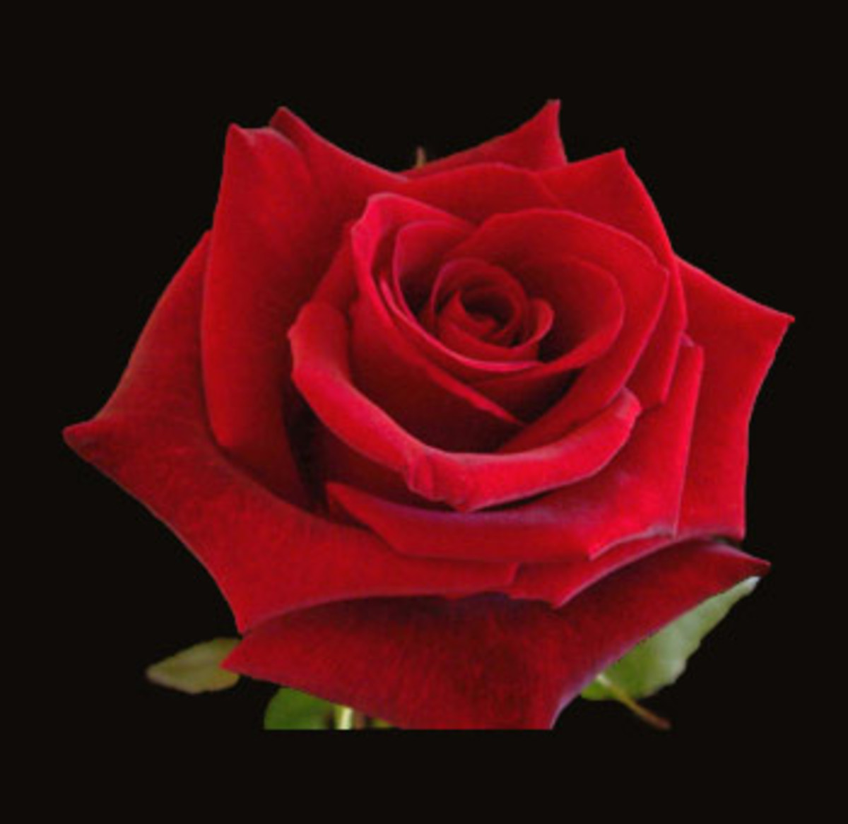 red roses have become a popular symbol of Valentine's Day and of love.