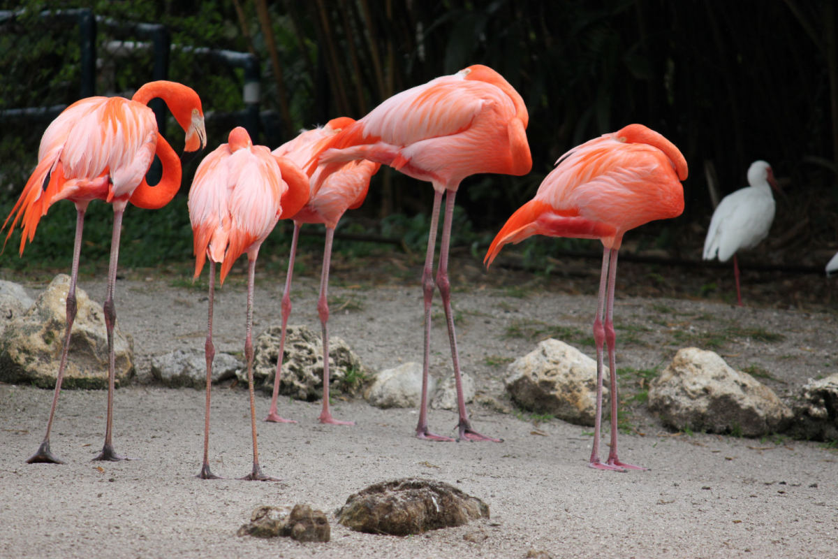 Tired flamingos at Flamingo Gardens!