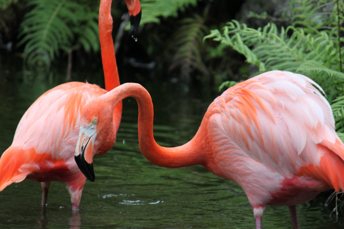 Flamingo Gardens' Flamingos