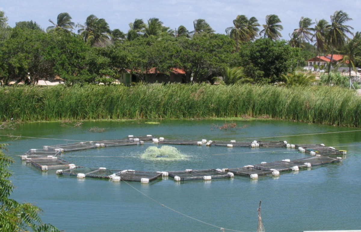 Tilapia cages