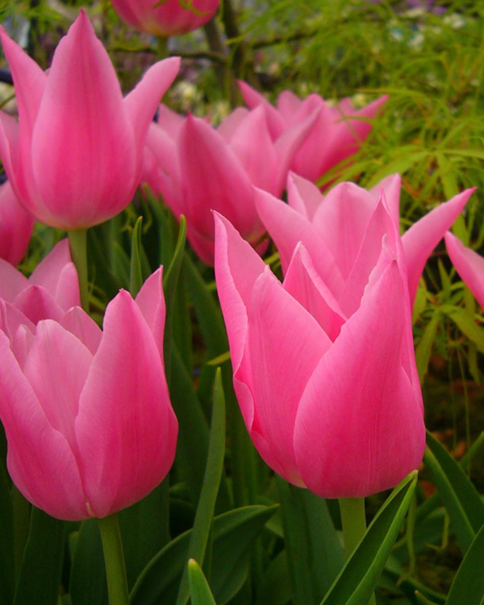 Tulip 'China Pink'