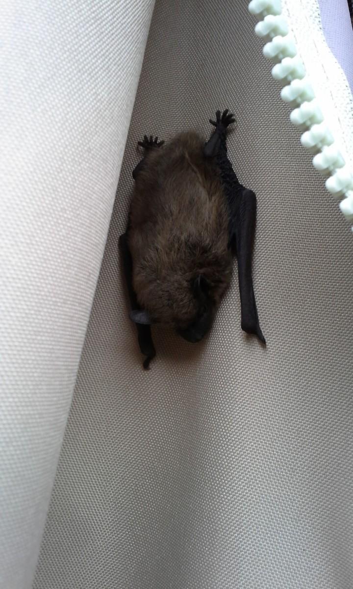Barry the Bat
