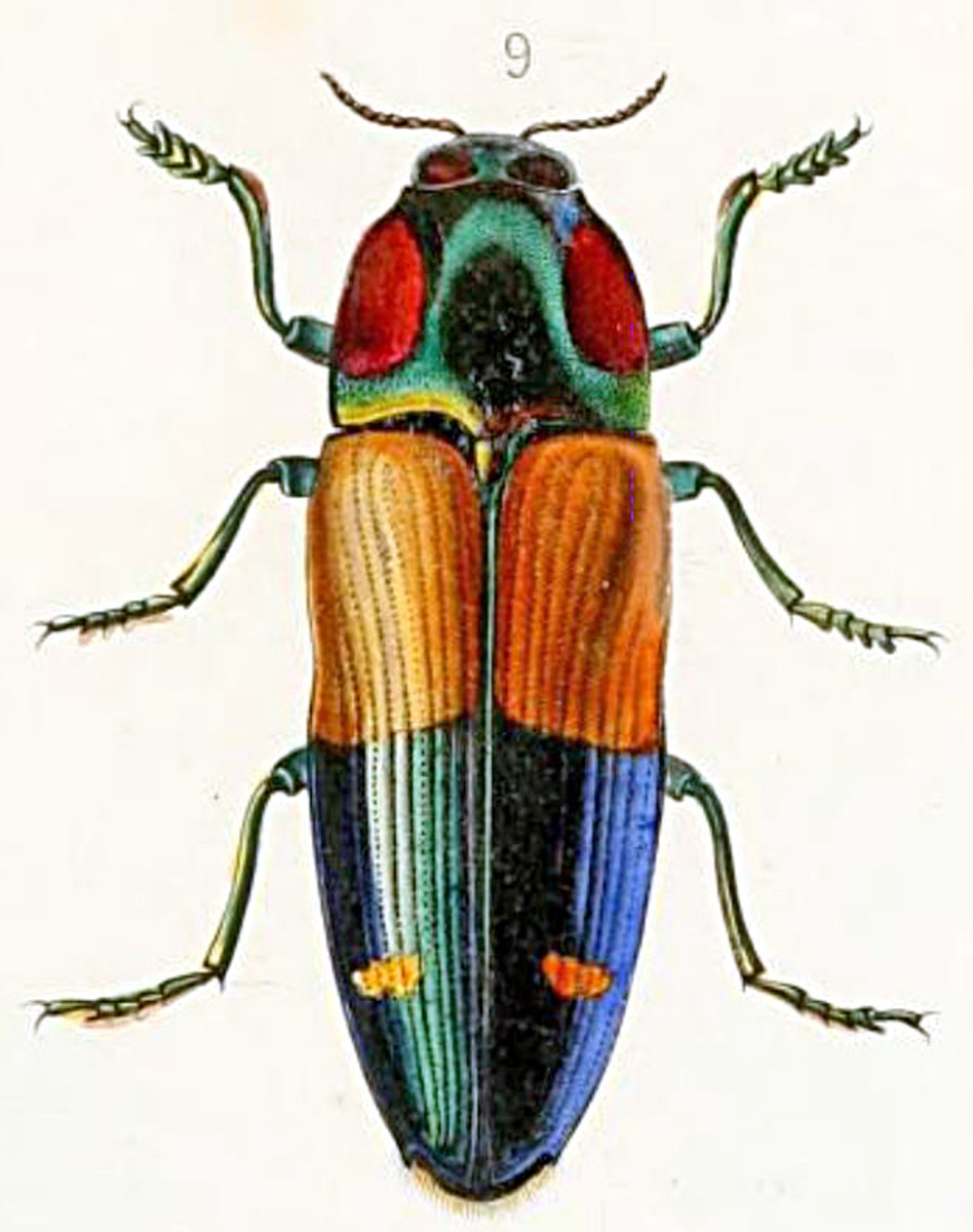 The Kei Jewel Beetle