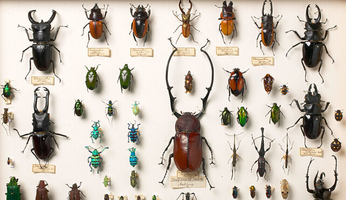 Wallace Beetles