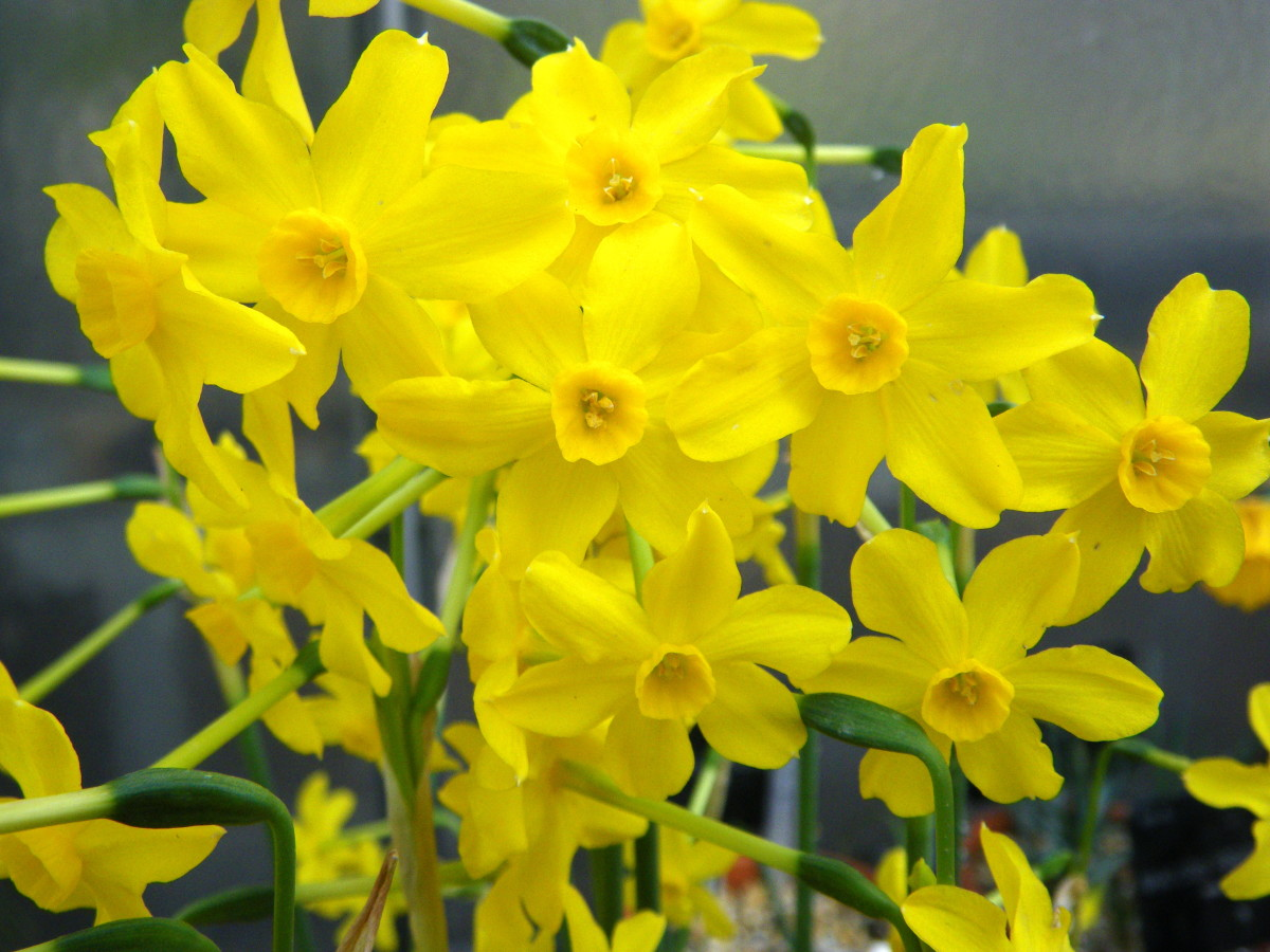 December's flower is the narcissus.