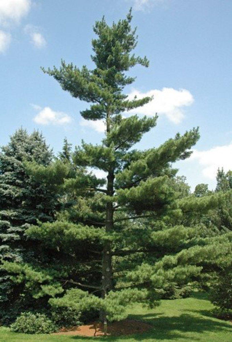 Eastern white pine: Maine's money tree..