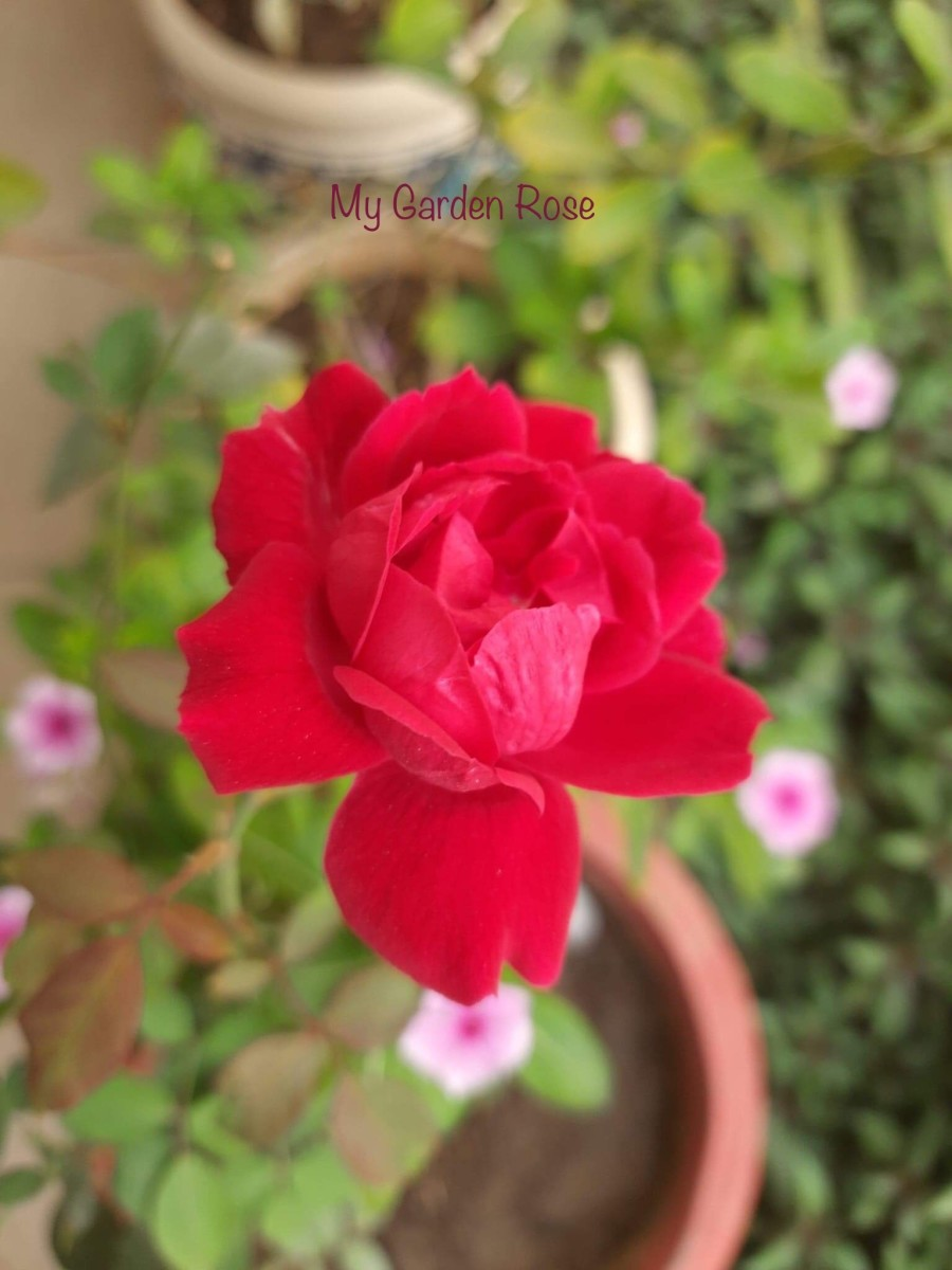 My Garden Rose—Poem