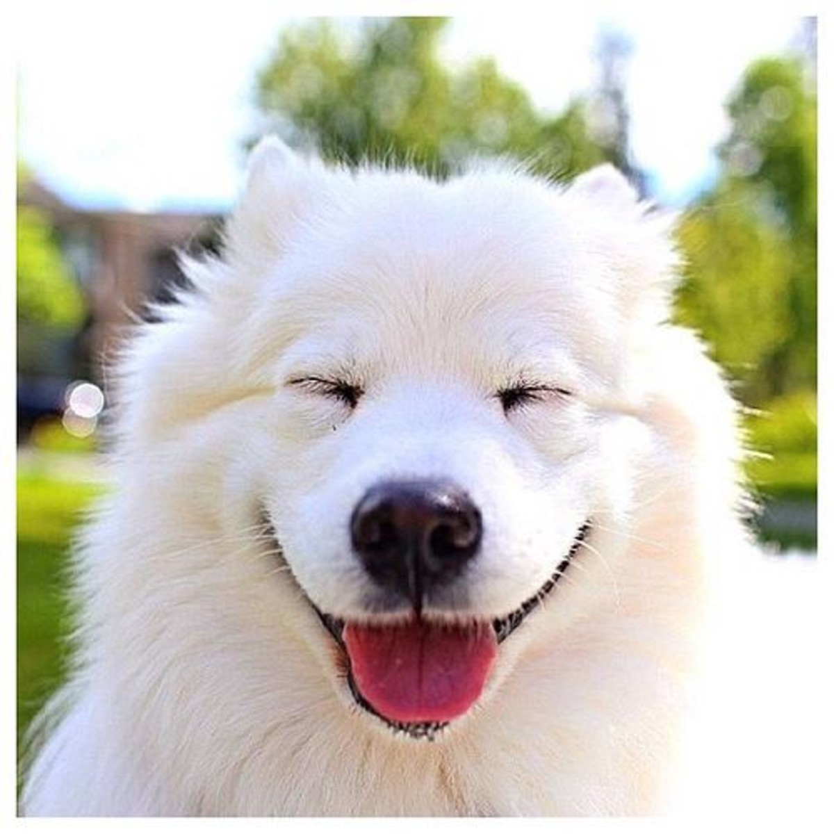 A smiley dog: Samoyed