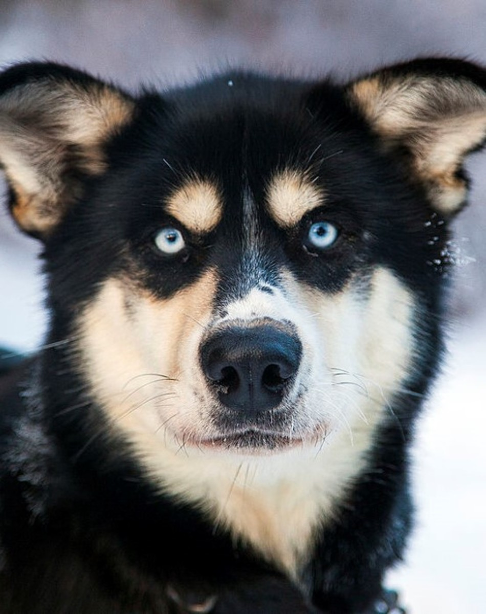 Sled dog (husky) - By Denali National Park and Preserve