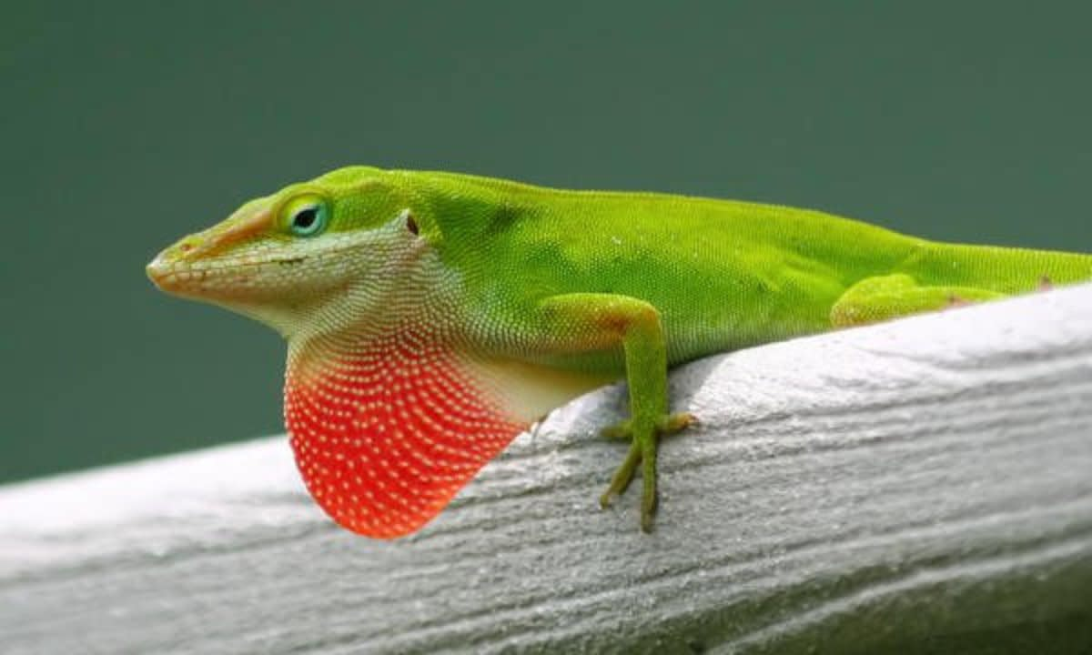 Bright green gecko does his push-ups