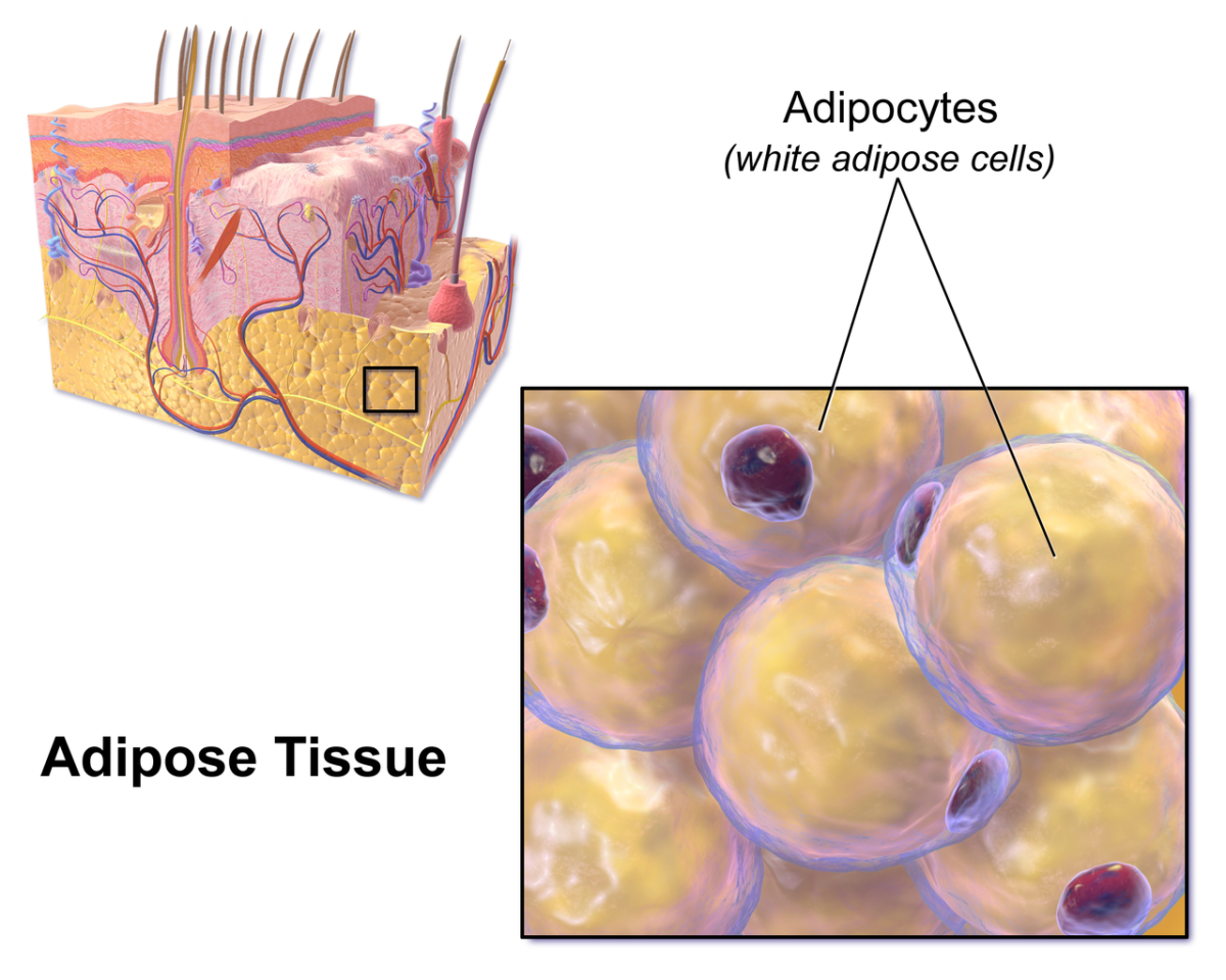 White adipocytes and subcutaneous fat