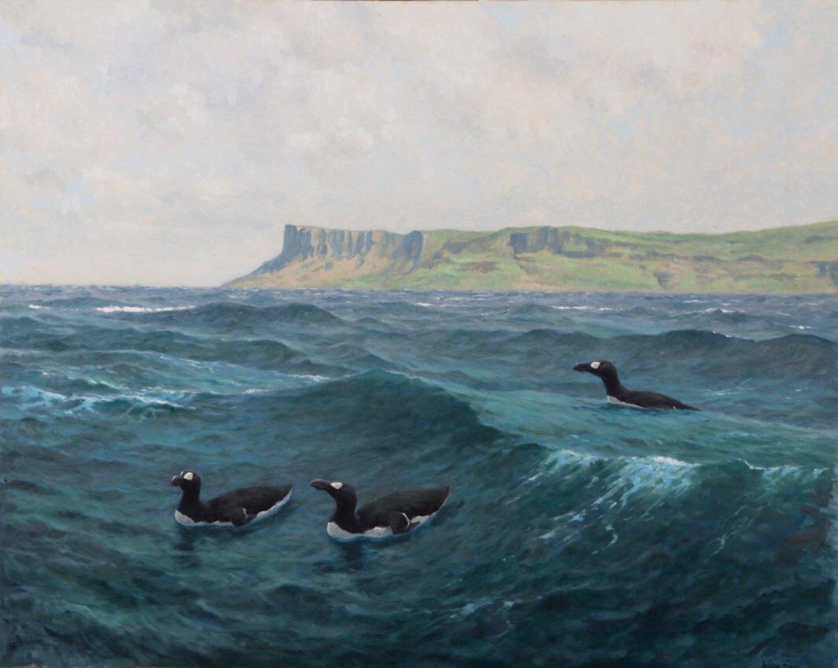 Great Auks by Fairhead on the Northern Irish coast