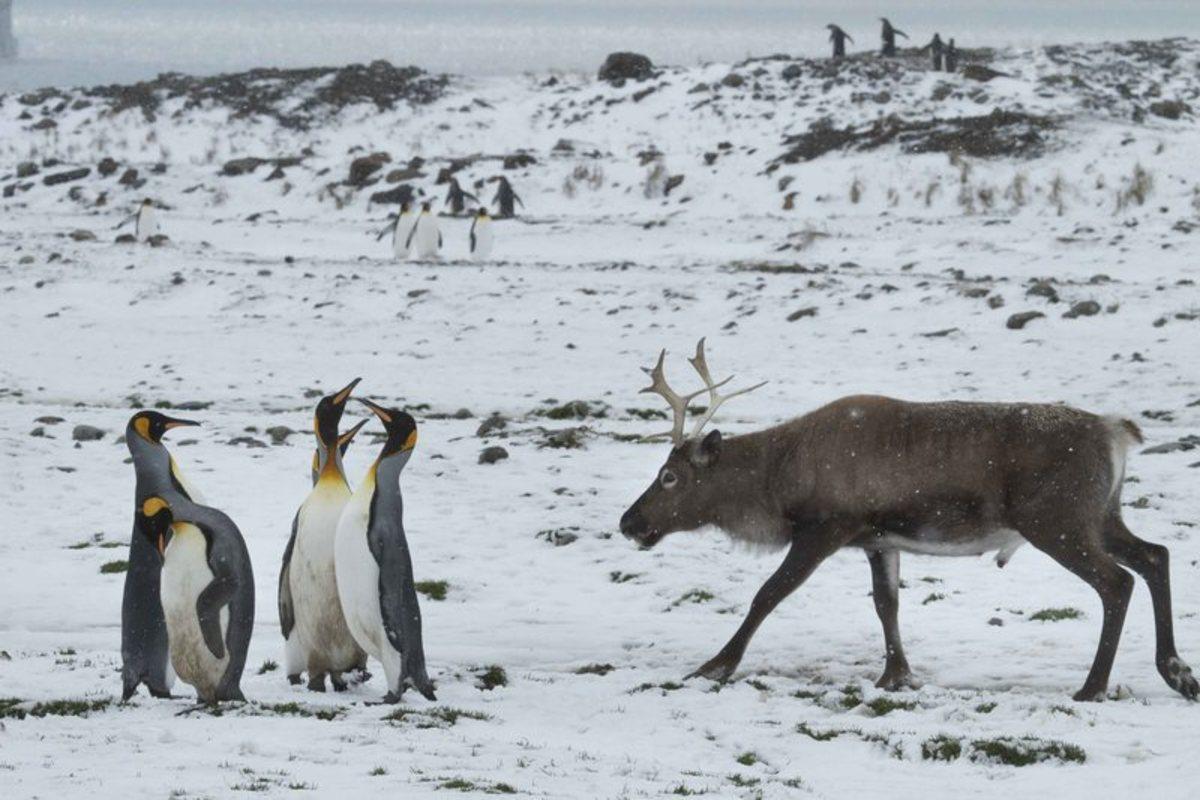 the-last-arctic-king-penguin