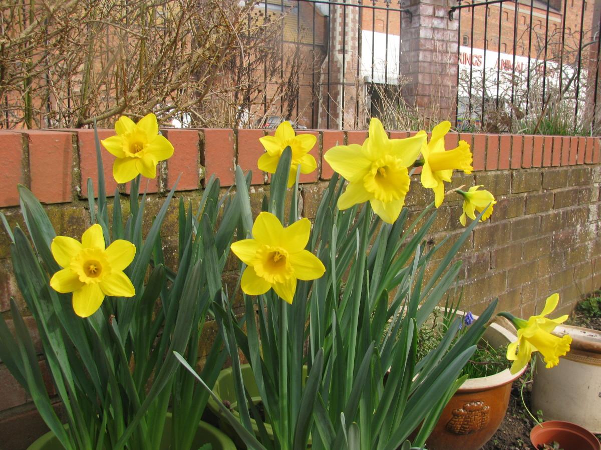Golden Daffodils in a Garden