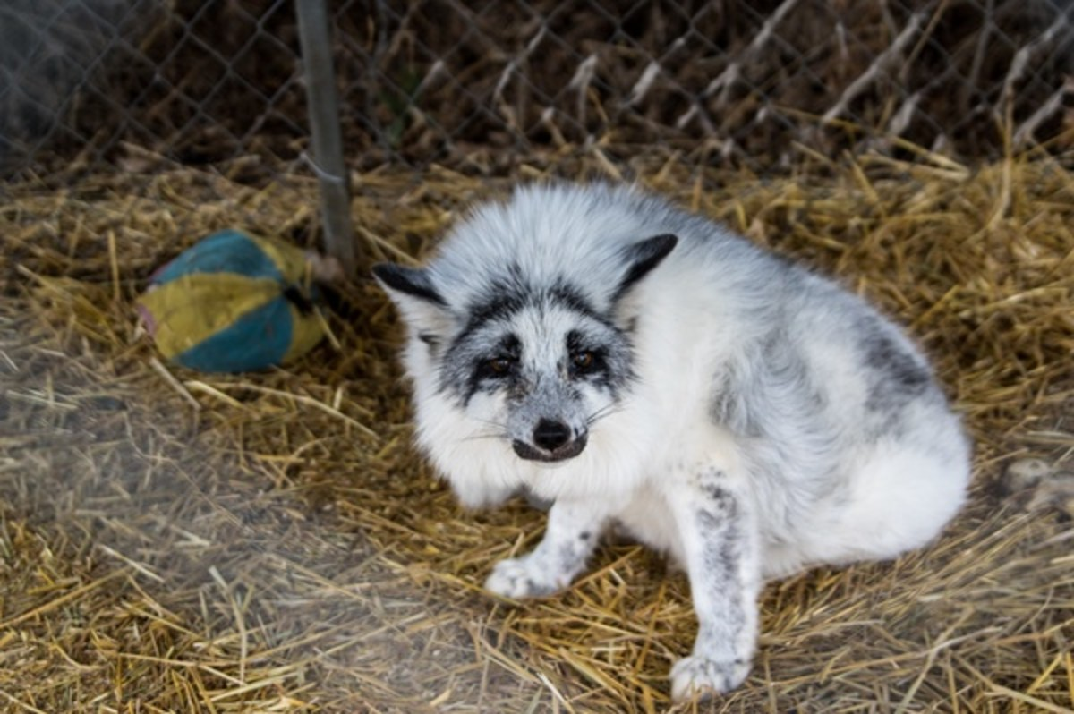 """The """"elusive"""" marble fox is just a regular red fox with a cool coat color. There are many color variants of red foxes."""