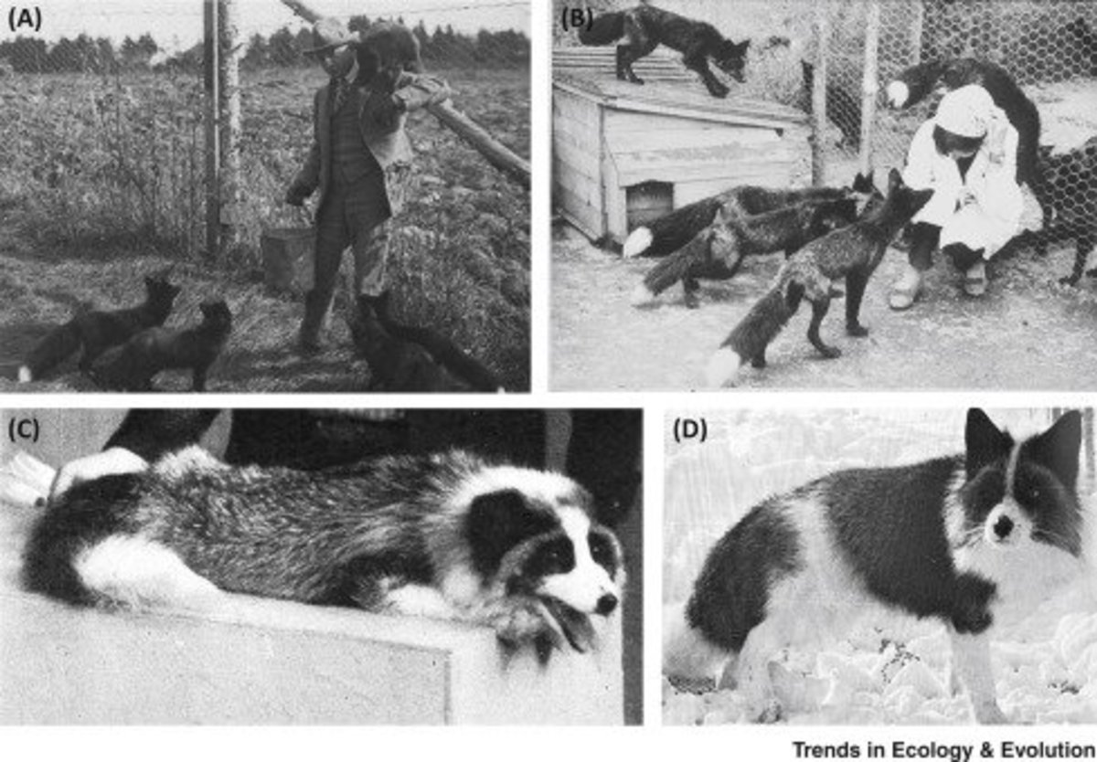 Some of the traits domesticated foxes exhibit is friendliness (affiliative behavior) and pied coats, and