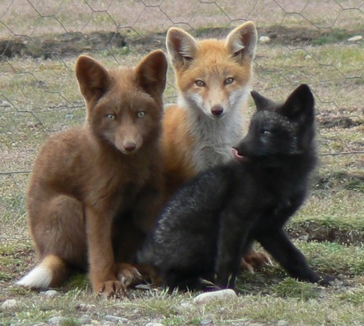 """A """"rainbow"""" of foxes, all red foxes (Vulpes vulpes) despite their unique coat colors."""