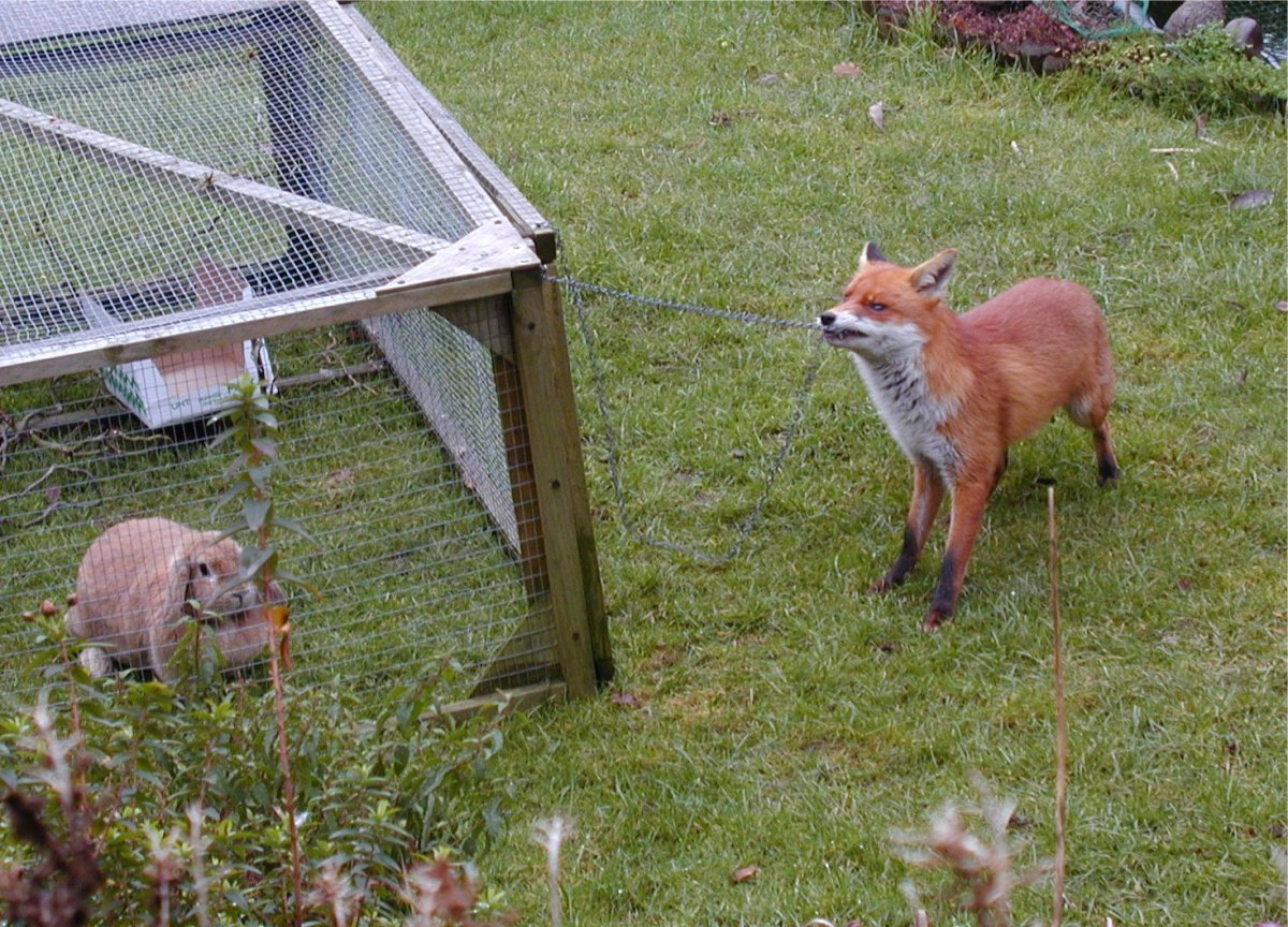 The current evidence points to dogs self-domesticating by growing comfortable with human presence, as many fox populations around the world also do.