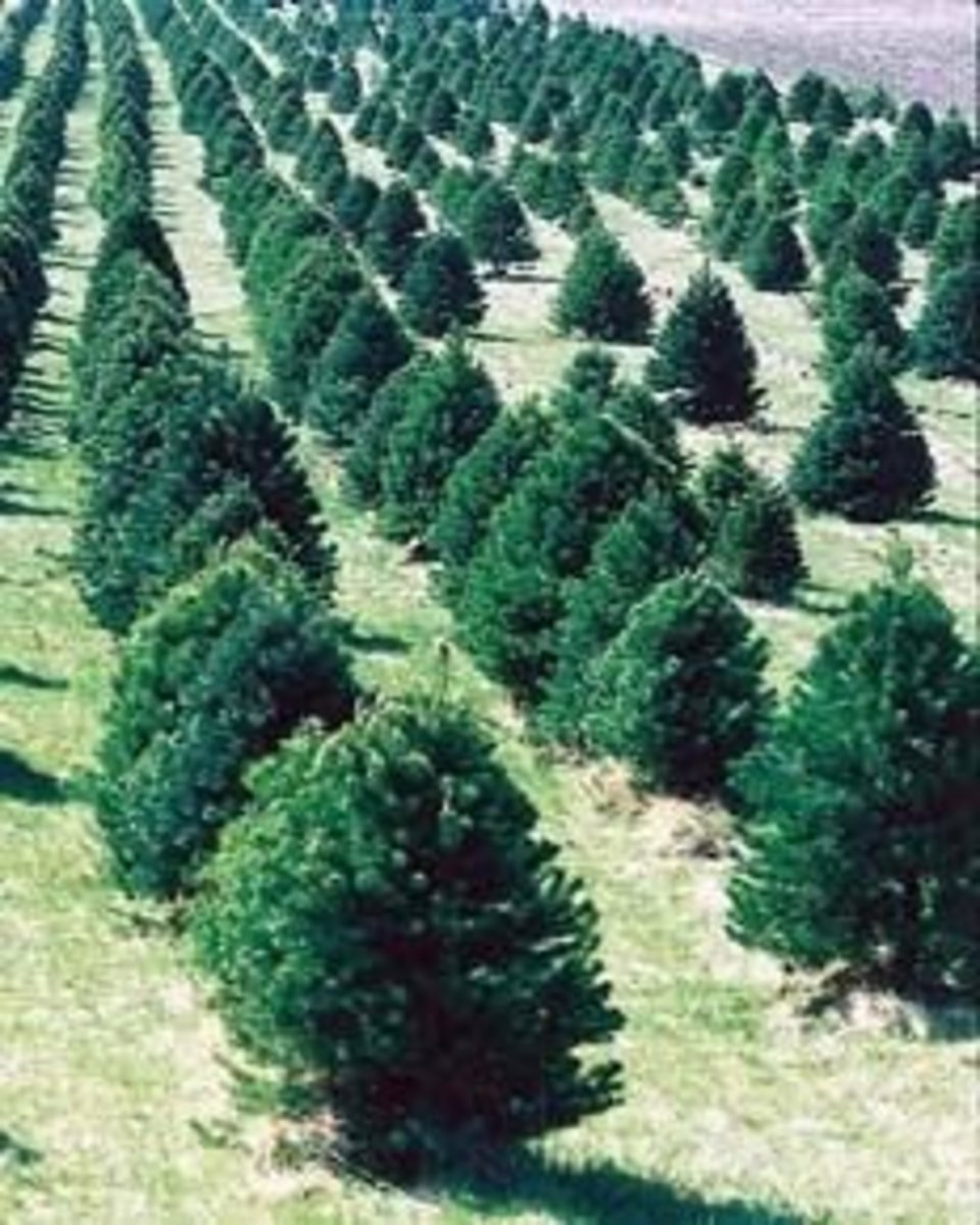 Christmas Tree farms: good idea or bad?