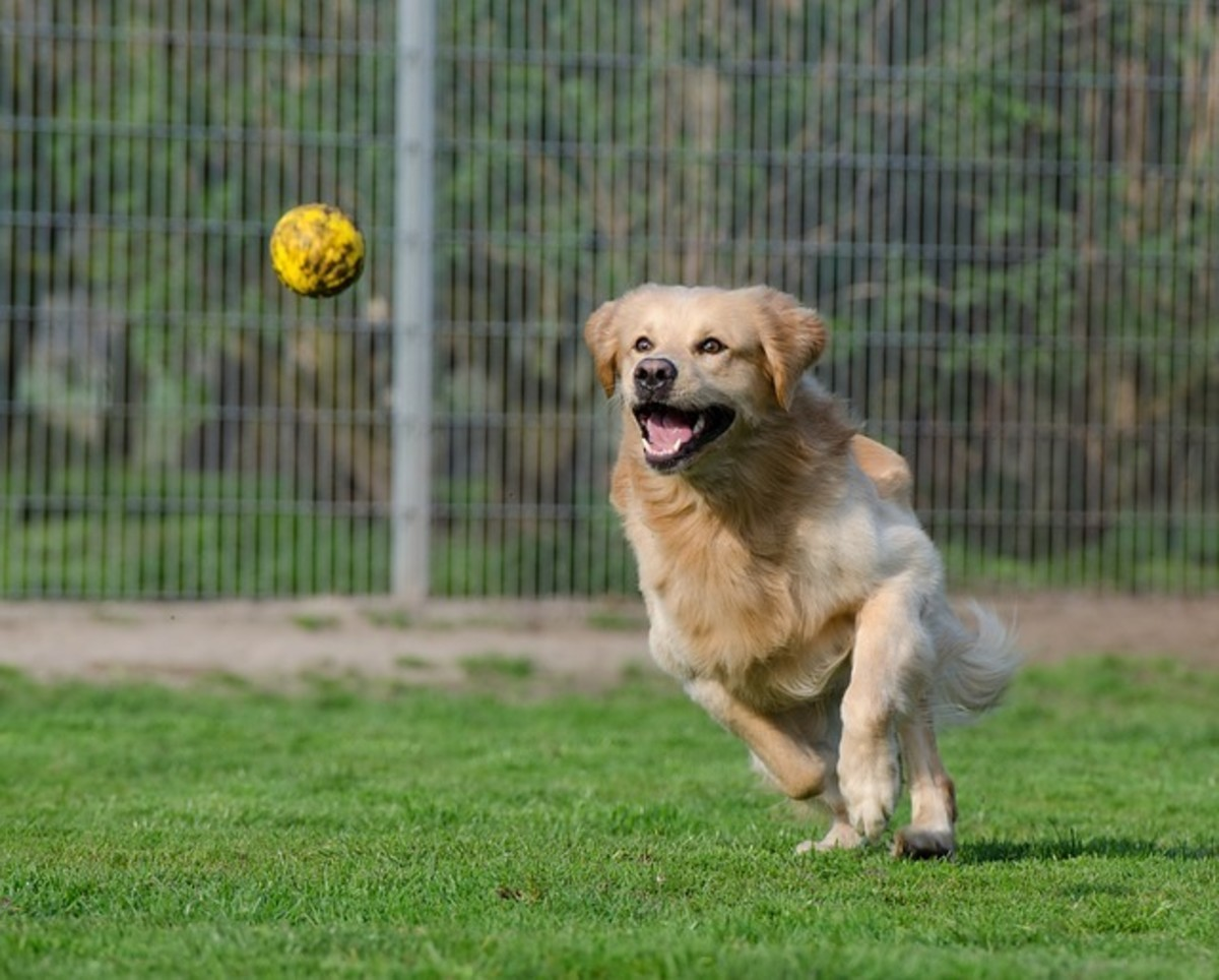 Is your dog addicted to chasing balls?