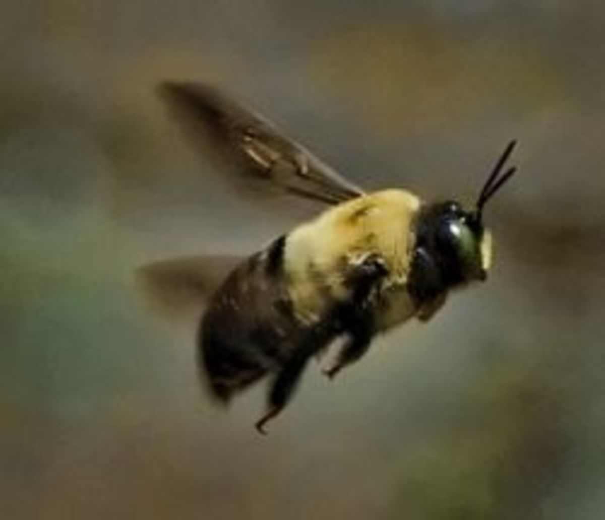 how to get rid of carpenter bees on deck