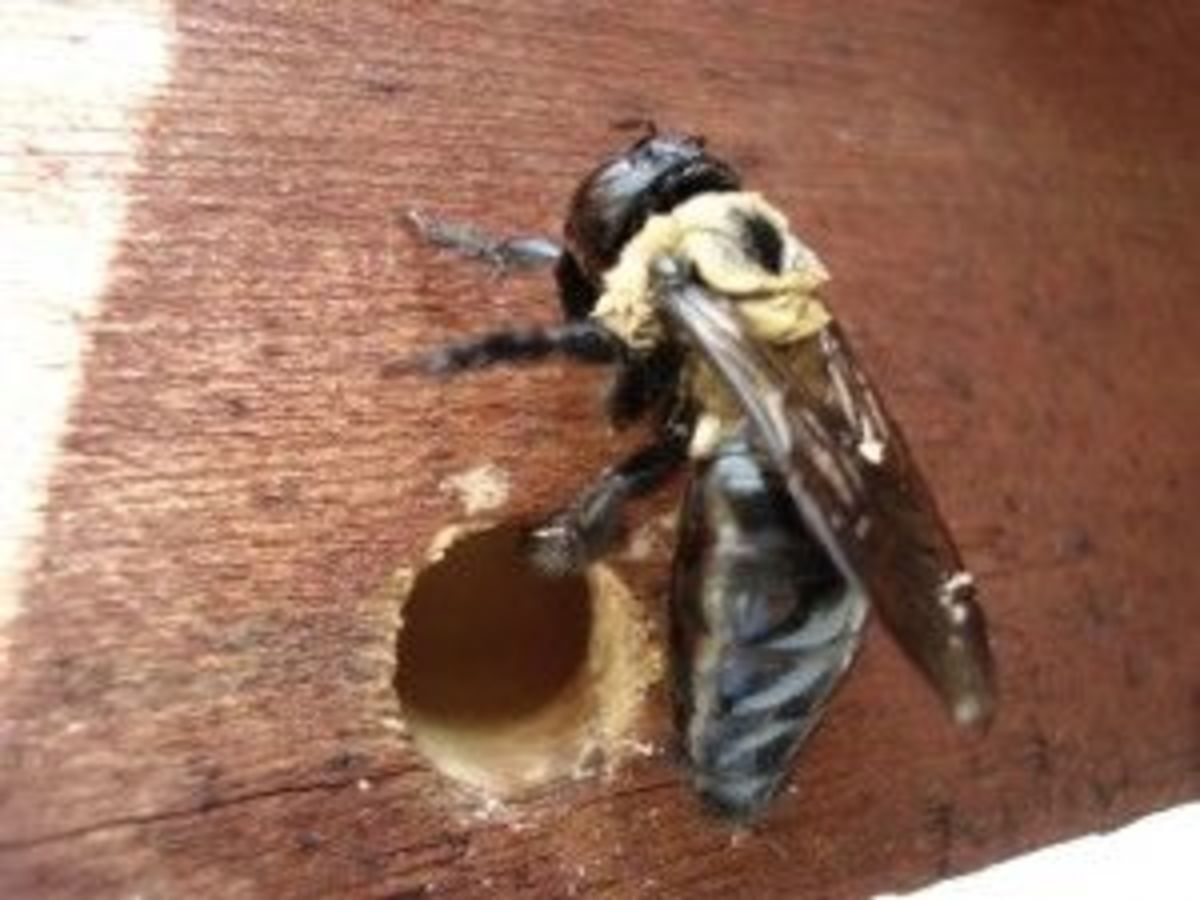 Identify a Carpenter Bee Nest