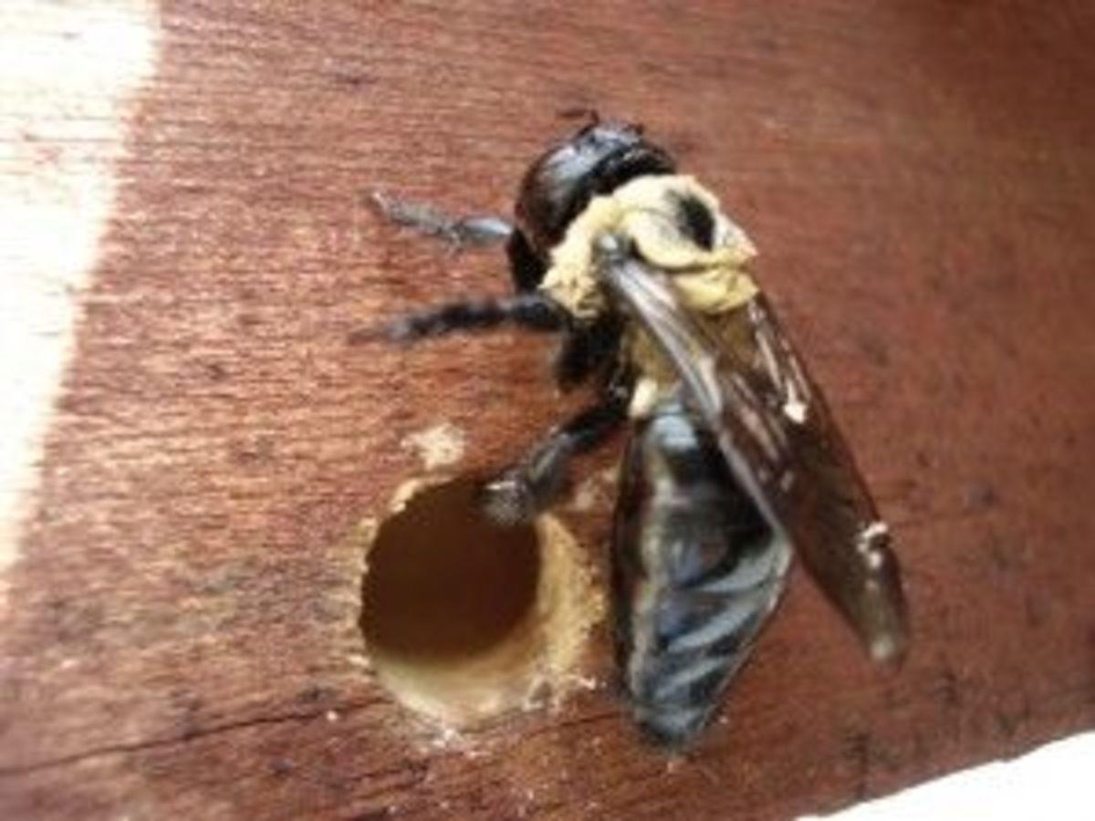 Identify a Carpenter Bee Nest