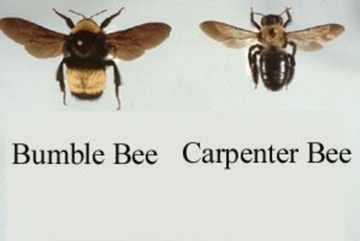 The Difference Between Carpenter Bees and Bumble Bees