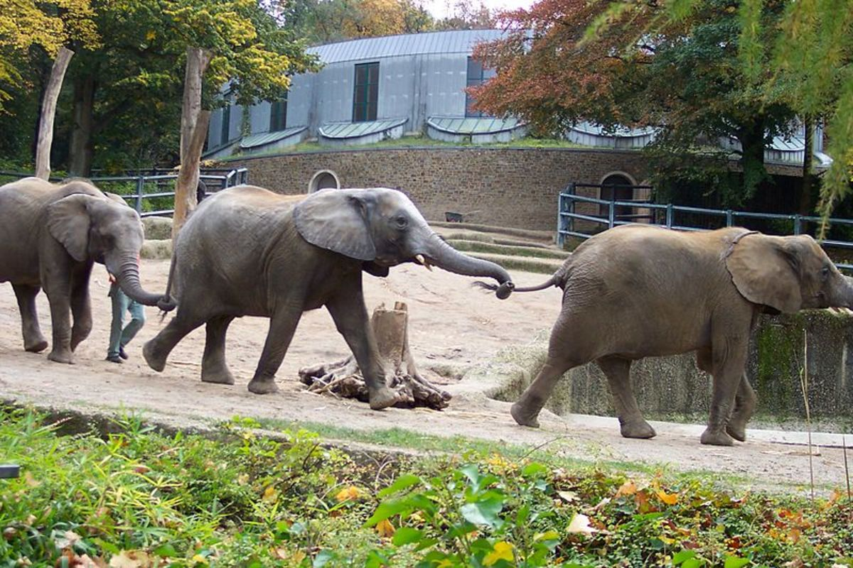 Elephants at Wuppertal Zoo where the mysterious hybrid virus broke out.