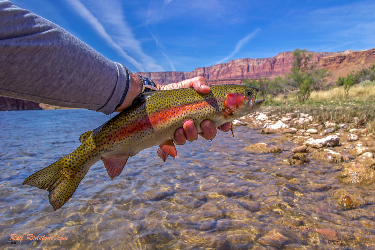 Vibrant colored Rainbow trout caught and release Fly-Fishing At Lees Ferry, AZ.