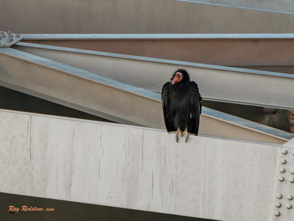Rare California Condor Near Lees Ferry, Arizona.