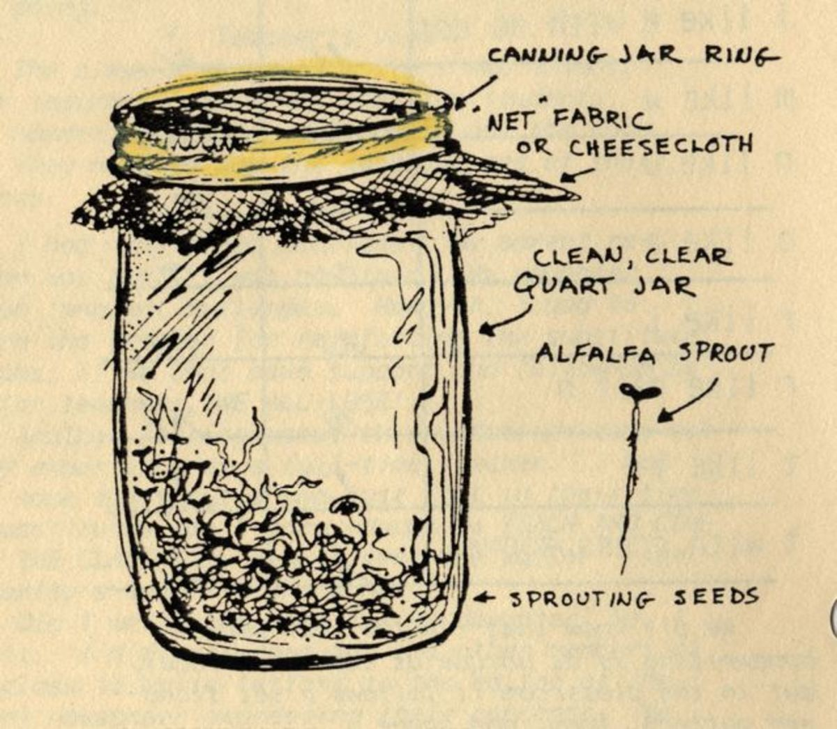 Sprouting Vegetable Seeds in a Jar for Big Nutrition or a Classroom Activity