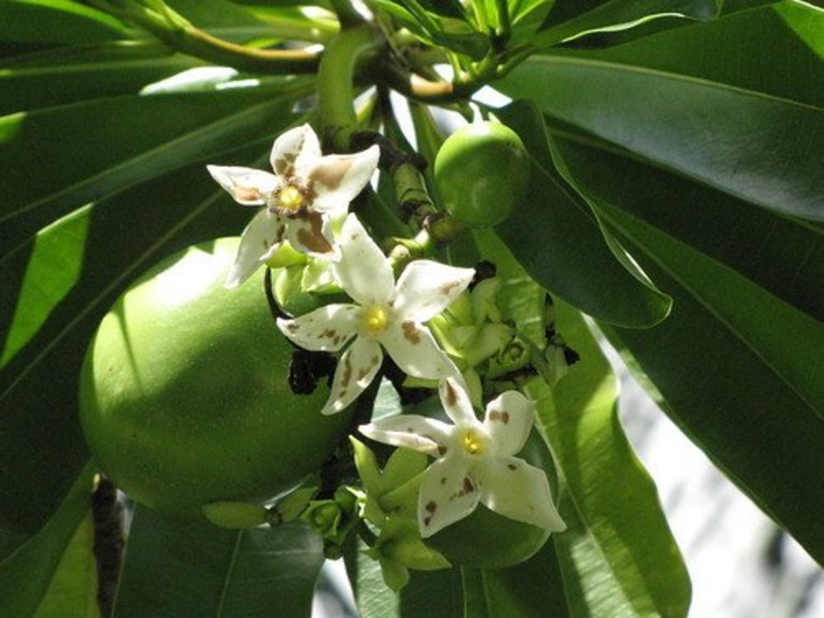 The tangena nut inside the fruit of this plant provided the emetic that proved guilt or innocence.