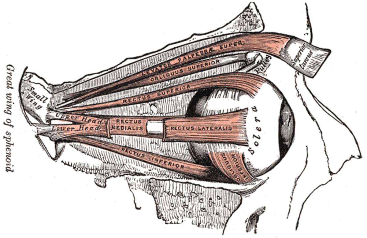 human-anatomy-lesson-18