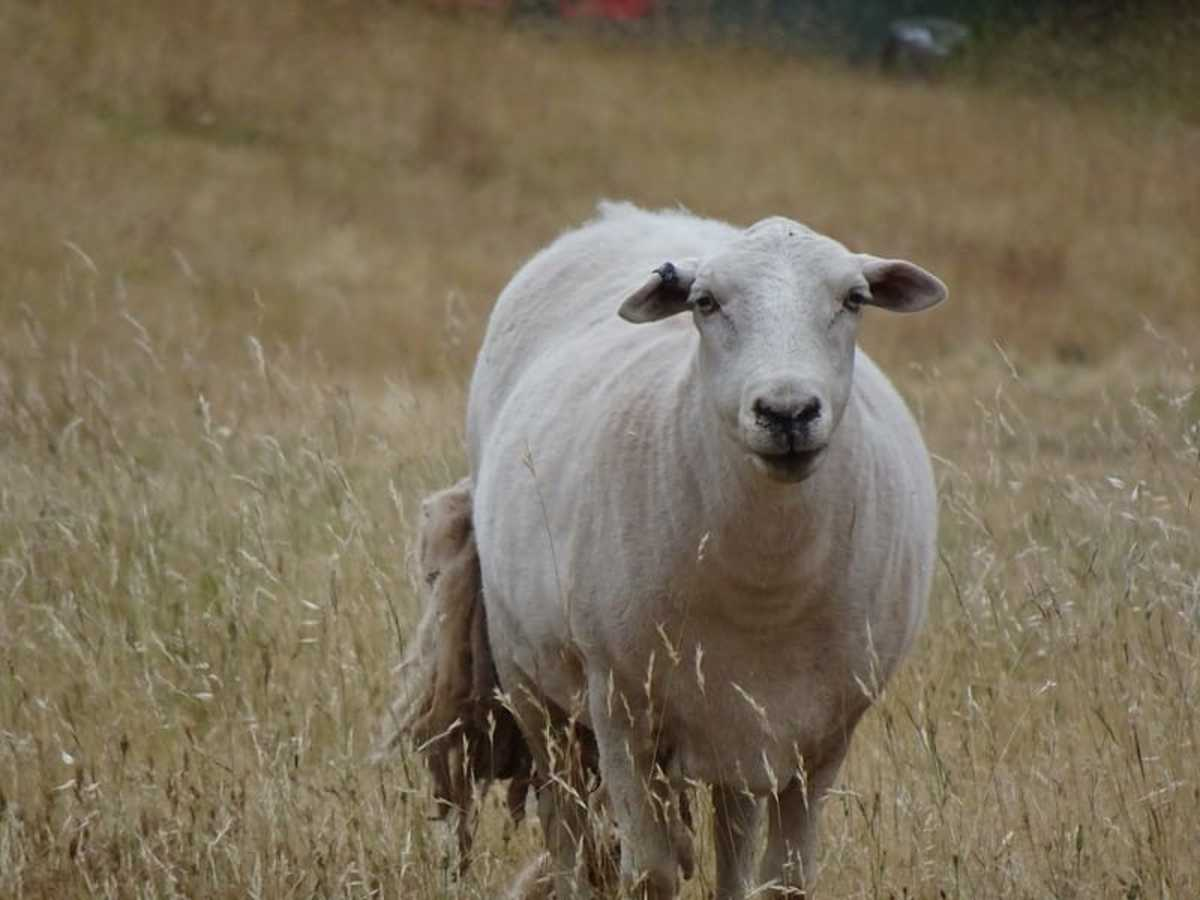 A white-headed Dorper sheep