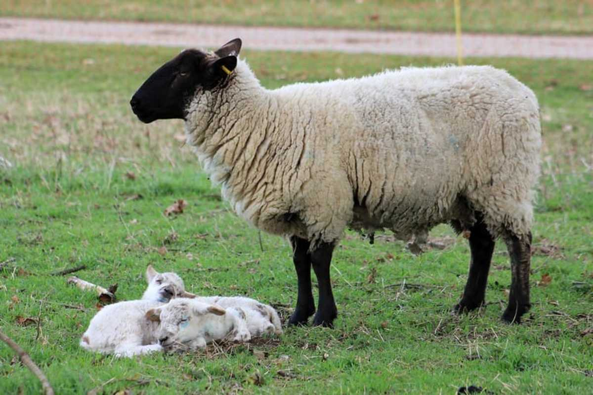 15 Best Sheep Breeds for Meat